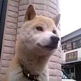 ゴマ。柴犬。8年前、福井県から高知県へ移住。ゲストが来たら吠えて知らせてくれます。
