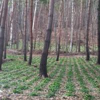間伐林で畑わさびを栽培