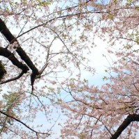 桜の苗木を植林