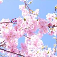 淡いピンクの桜の中