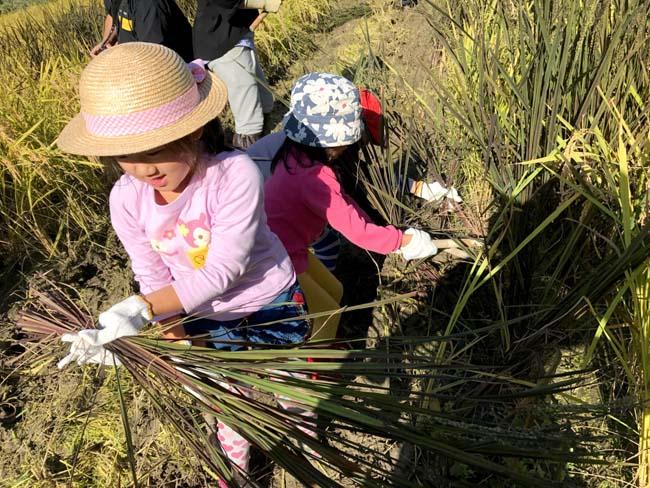 子どもたちと一緒に黒米を手刈3