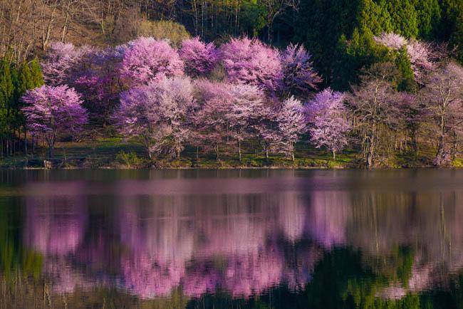 中綱の桜-4