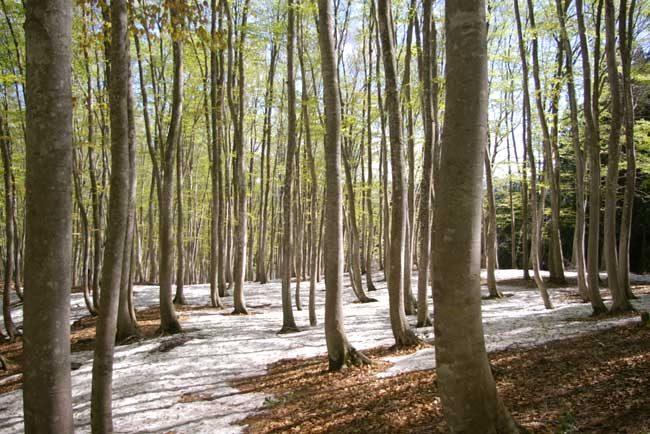 美しいブナ林