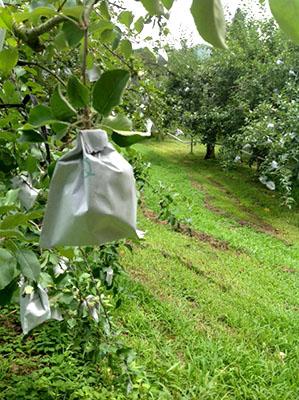 りんごの袋掛け景色
