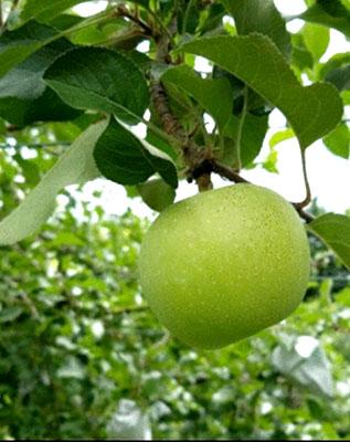 りんごの成長