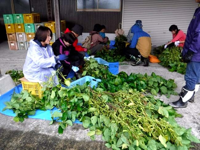 黒豆枝豆収穫体験