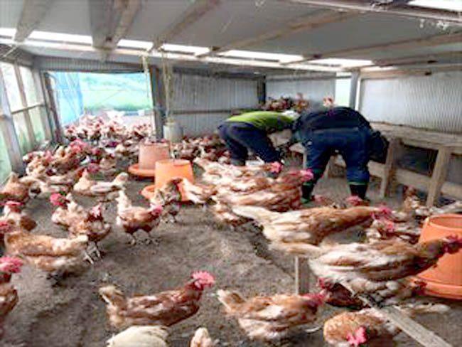 平飼いの養鶏場