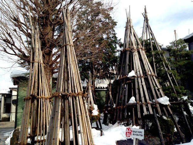 立木にも雪囲い