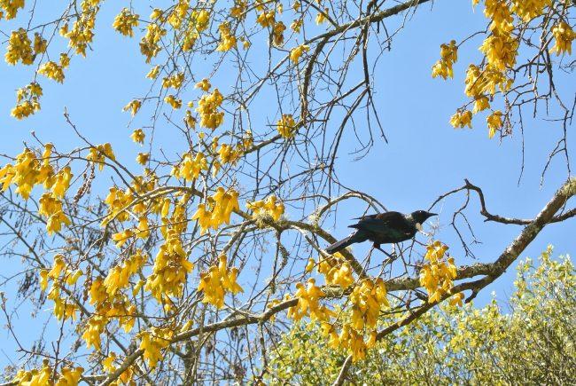 ニュージーランド国花 コーファイ