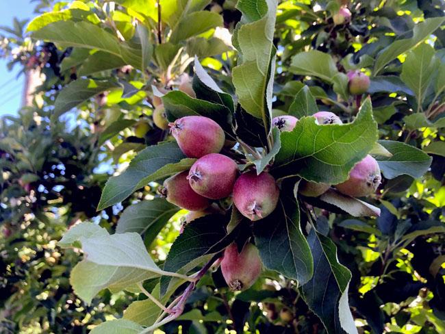 りんごの実①