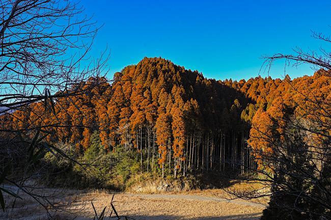 橙色に染まった杉の木々